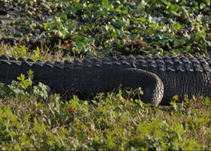 Alligator Greeting Card featuring the photograph Sunny Alligator by Joshua House