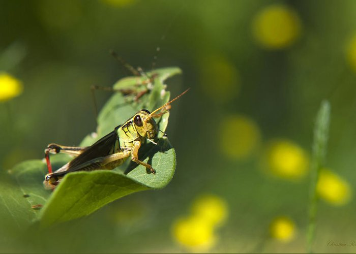 Grasshopper Greeting Card featuring the photograph Sunny Green Grasshopper by Christina Rollo