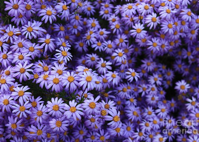 Purple Flower Greeting Card featuring the photograph Sweet Dreams Of Purple Daisies by Carol Groenen
