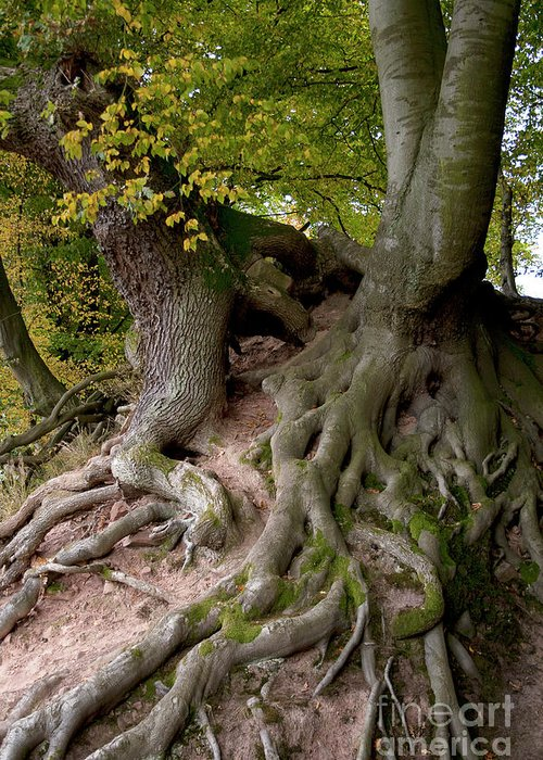 Nature Greeting Card featuring the photograph Taking Root by Heiko Koehrer-Wagner