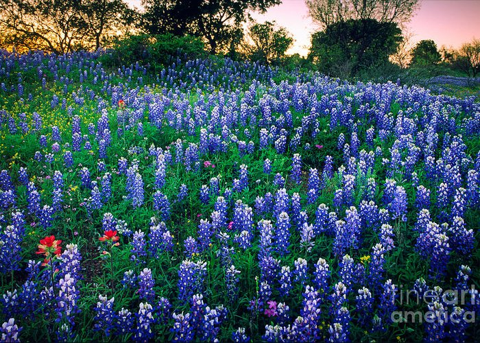 America Greeting Card featuring the photograph Texas Bluebonnet Field by Inge Johnsson
