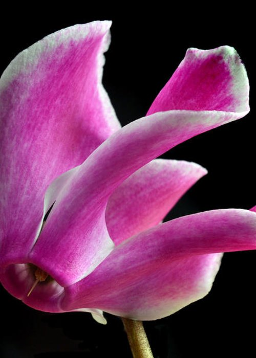 Cyclamen Greeting Card featuring the photograph The Art Of Cyclamen by Terence Davis