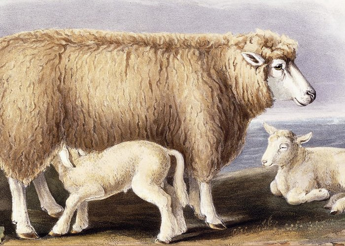 Sheep Greeting Card featuring the painting The Cotswold Breed by David Low