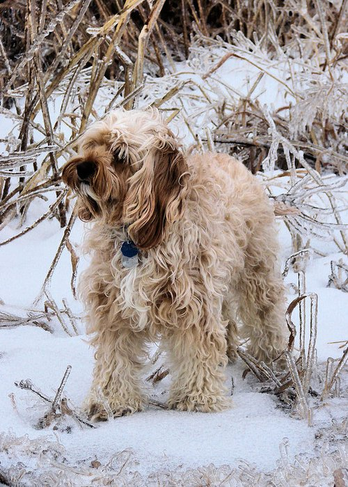 Cavapoo Greeting Card featuring the photograph The Fur Coat by JC Findley