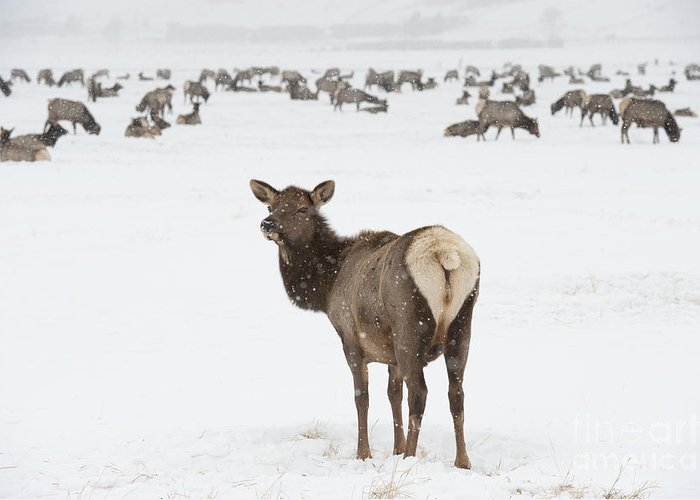 Elk Greeting Card featuring the photograph The Gathering by Sandra Bronstein