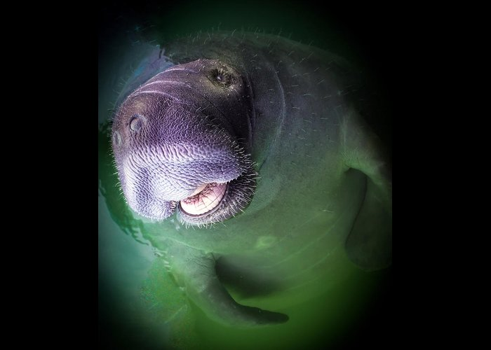 Manatees Greeting Card featuring the photograph The Happy Manatee by Karen Wiles