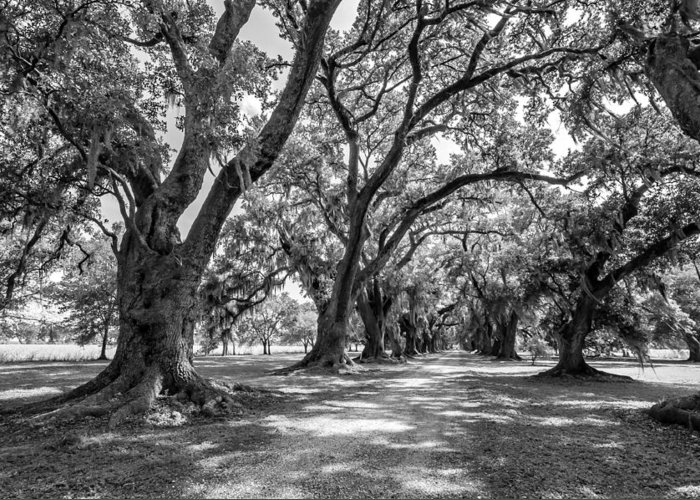 Evergreen Plantation Greeting Card featuring the photograph The Lane Bw by Steve Harrington