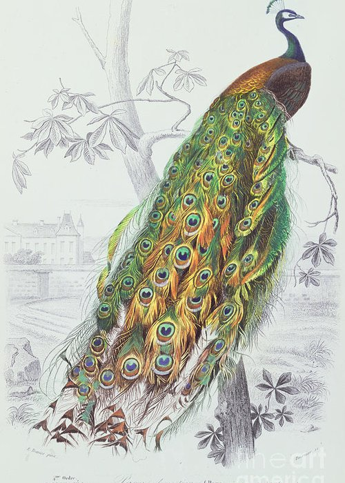 Peacock Greeting Card featuring the painting The Peacock by A Fournier