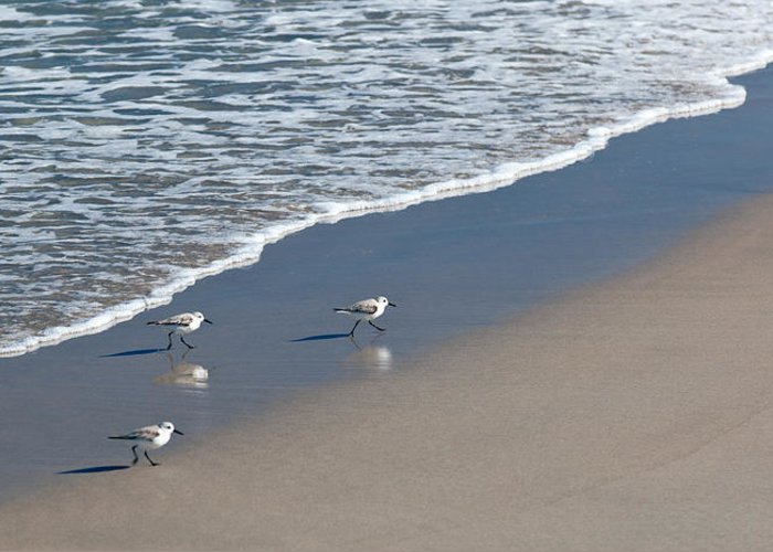 The Pied Sandpiper Greeting Card featuring the photograph The Pied Sandpiper by Michelle Wiarda