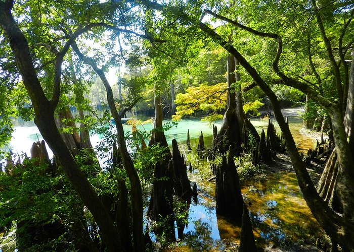 Florida Swamp Greeting Card featuring the photograph The Swamp By The Springs by Julie Dant