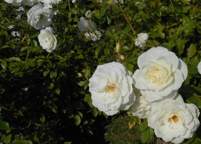 Rose Greeting Card featuring the photograph The White Rose Is A Dove by Kay Gilley