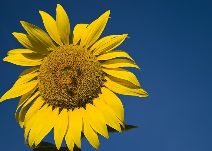 3scape Photos Greeting Card featuring the photograph Three Bees And A Sunflower by Adam Romanowicz