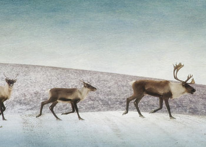 Animal Greeting Card featuring the photograph Three Caribous by Priska Wettstein