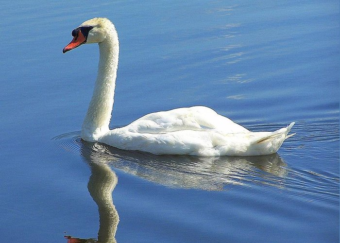 Swan Greeting Card featuring the photograph Tranquility by Frozen in Time Fine Art Photography
