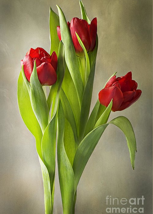 Tulips Greeting Card featuring the photograph Tulipa by Jacky Parker