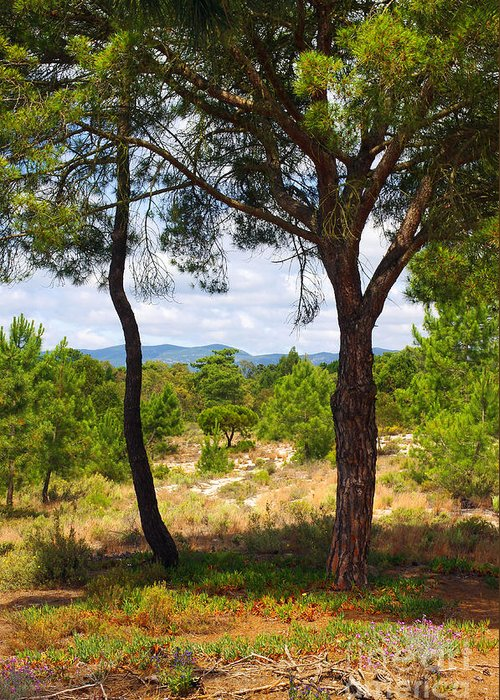 Agronomy Greeting Card featuring the photograph Two Pine Trees by Carlos Caetano