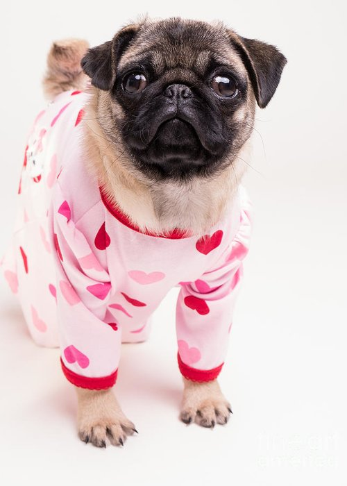 Pug Greeting Card featuring the photograph Valentine's Day - Adorable Pug Puppy In Pajamas by Edward Fielding