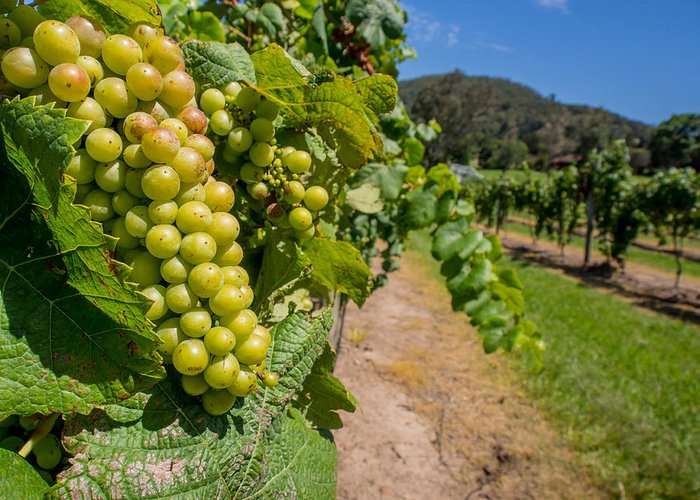 Vineyard Greeting Card featuring the photograph Vineyard Grapes by Justin Woodhouse