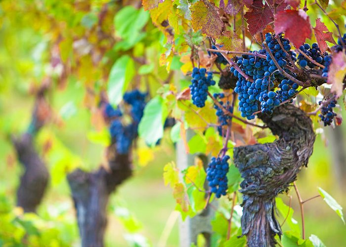 Vines Greeting Card featuring the photograph Vineyard Grapes Ready For Harvest by Susan Schmitz