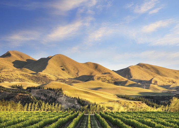 Canterbury Greeting Card featuring the photograph Vineyard In Canterbury New Zealand by Colin and Linda McKie