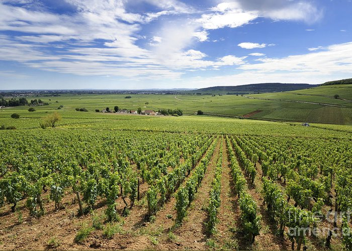 Agricultural  Greeting Card featuring the photograph Vineyard Of Cotes De Beaune. Cote D'or. Burgundy. France. Europe by Bernard Jaubert