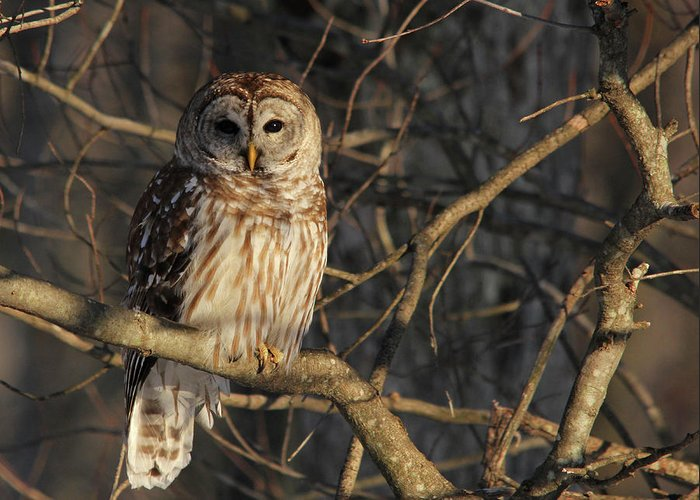 Barred Owl Greeting Card featuring the photograph Waiting For Supper by Lori Deiter