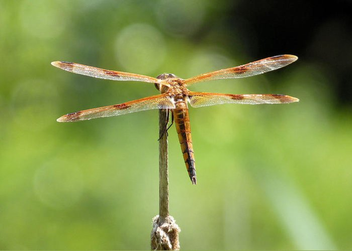 Dragonfly Greeting Card featuring the photograph Watch Captain by JC Findley