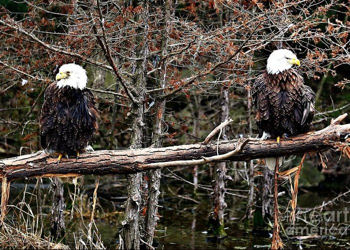 Bald Eagles Greeting Card featuring the photograph Watchful Eyes by Elizabeth Winter