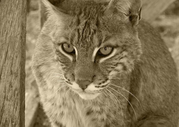 Bobcats Greeting Card featuring the photograph Watchful Eyes-sepia by Jennifer King