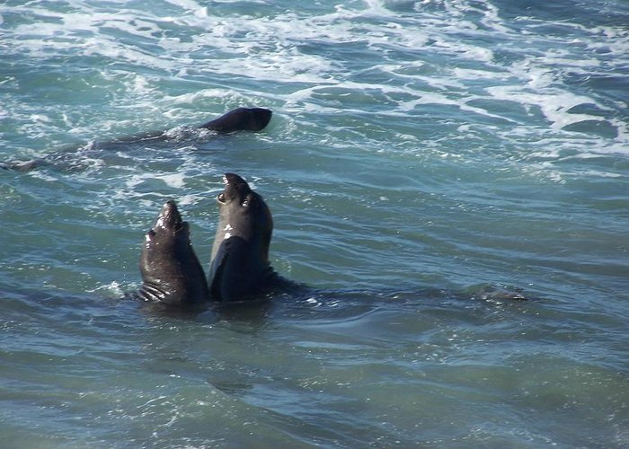 Sea Lion Greeting Card featuring the photograph Water Chorus by Christine Drake