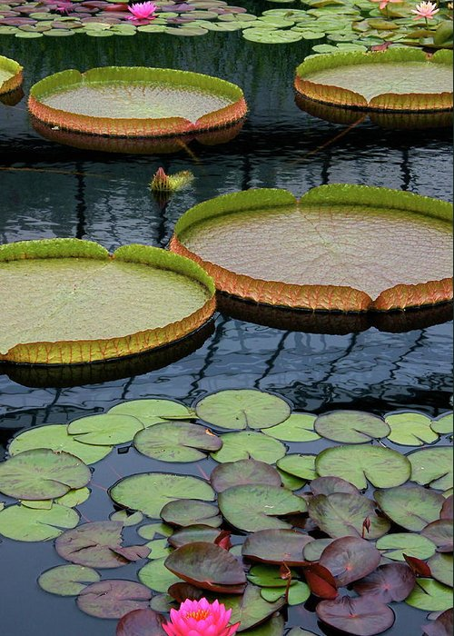 Aquatic Plants Greeting Card featuring the photograph Waterlilies And Platters 2 by Byron Varvarigos
