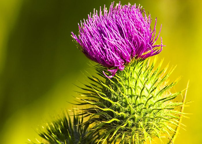 Thistle Greeting Card featuring the photograph Wearing A Purple Crown - Bull Thistle by Mark E Tisdale