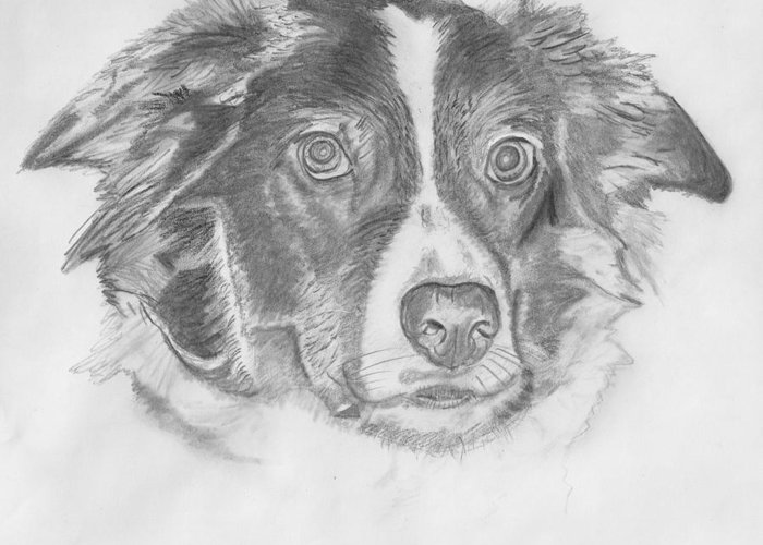 Border Collie Greeting Card featuring the drawing Welsh Border Collie by Catherine Roberts