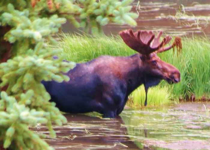 Moose Greeting Card featuring the photograph Wet And Wild by Feva Fotos