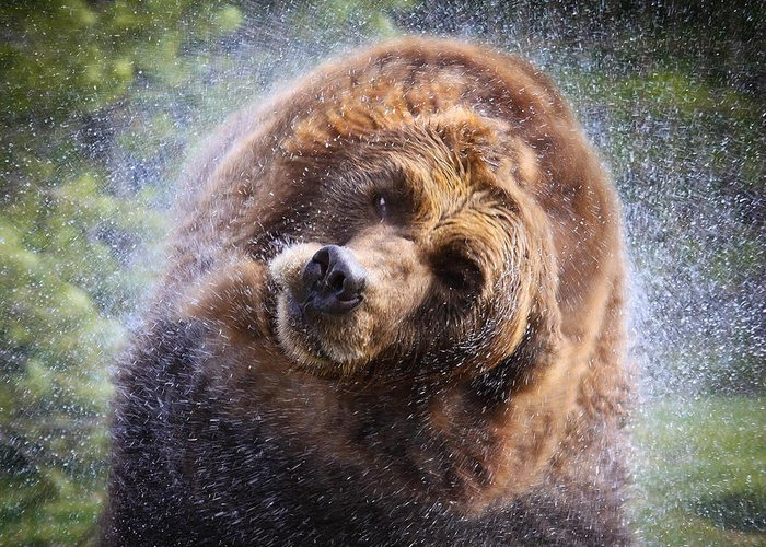 Griz Greeting Card featuring the photograph Wet Griz by Steve McKinzie