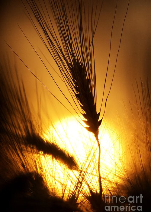 Sunset Greeting Card featuring the photograph Wheat At Sunset Silhouette by Tim Gainey