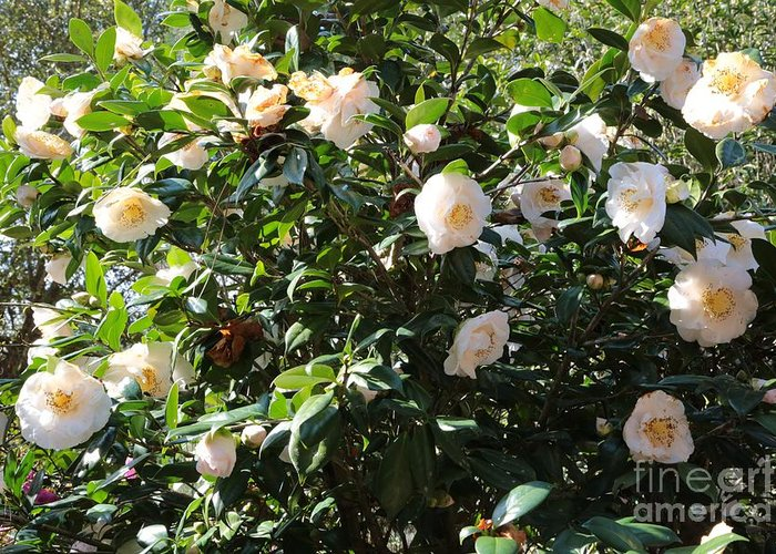 White Flowers Greeting Card featuring the photograph White Camellias by Carol Groenen