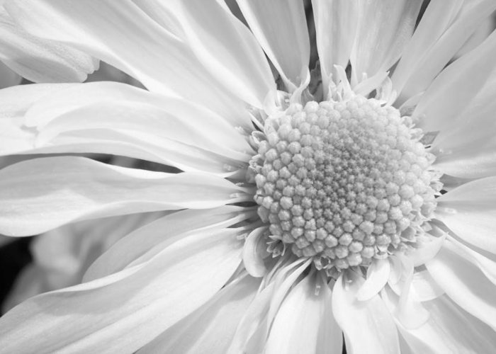 3scape Photos Greeting Card featuring the photograph White Daisy by Adam Romanowicz