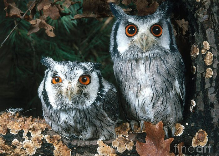 Animal Greeting Card featuring the photograph White Faced Scops Owl by Hans Reinhard