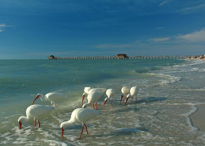 Florida Greeting Card featuring the photograph White Ibis Near Historic Naples Pier by Juergen Roth