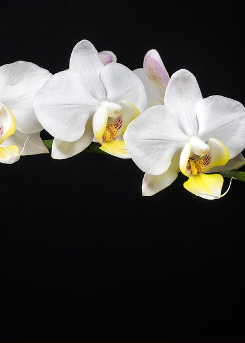 3scape Photos Greeting Card featuring the photograph White Orchids by Adam Romanowicz