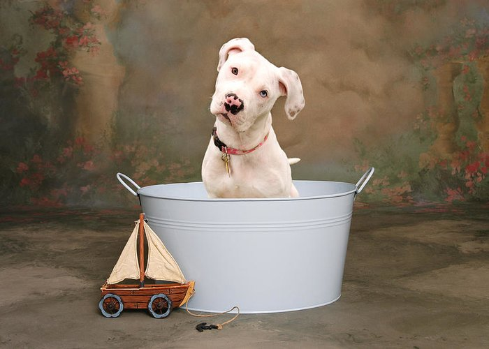 Dog Greeting Card featuring the photograph White Pitbull Puppy Portrait by James BO Insogna