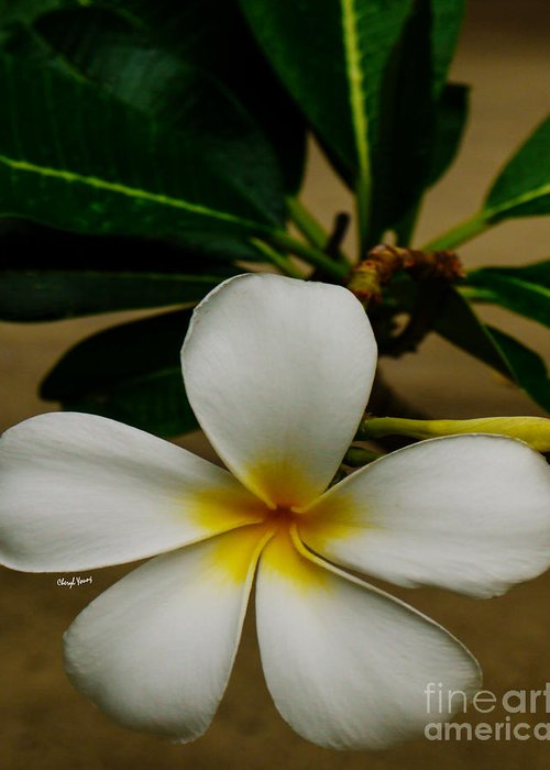 White Greeting Card featuring the photograph White Plumeria 2 by Cheryl Young