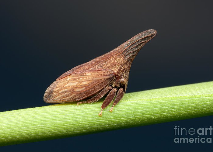 Clarence Holmes Greeting Card featuring the photograph Widefooted Treehopper II by Clarence Holmes