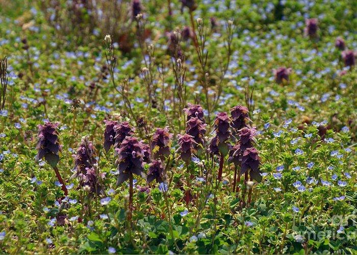 Wild Flowers Greeting Card featuring the photograph Wild Catnip by Brenda Dorman