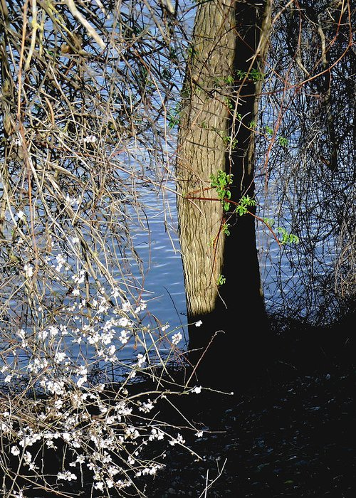 Cherry Greeting Card featuring the photograph Wild Cherry Tree On The Sacramento River by Pamela Patch