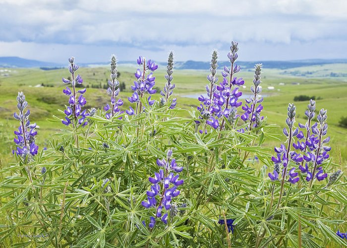 Wild Lupine Greeting Card featuring the photograph Wild Lupine by Theresa Tahara