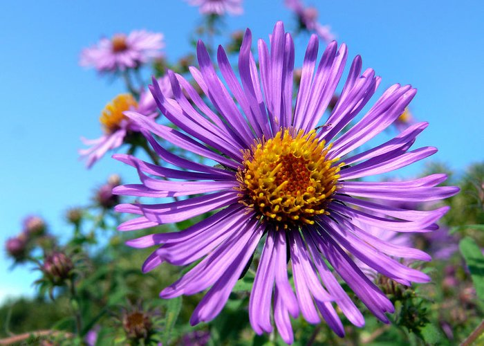 Bright Greeting Card featuring the photograph Wild Purple Aster by Christina Rollo