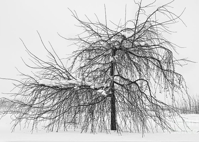 Tree Greeting Card featuring the photograph Wild Springtime Winter Tree Black And White by James BO Insogna