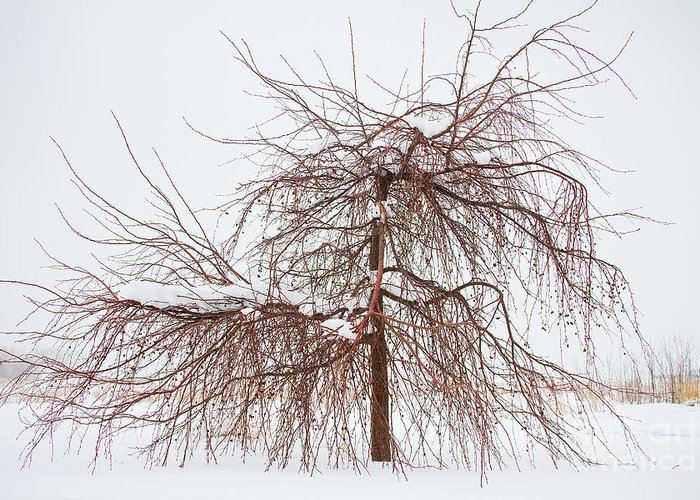 Tree Greeting Card featuring the photograph Wild Springtime Winter Tree by James BO Insogna